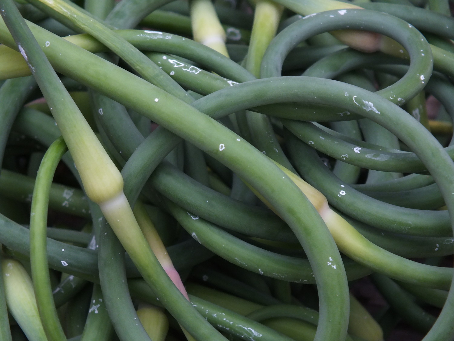 Recently harvested garlic scapes. (Photo by Matt Miller/KTOO)
