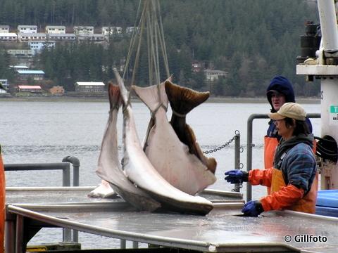 Crewmen load halibut near Juneau. (Creative Commons photo by gillphoto)