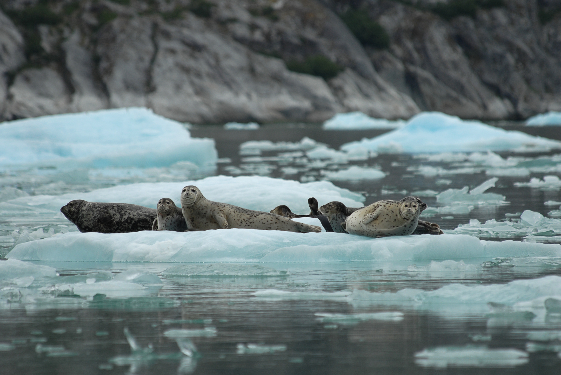 Harbor seals rest on ice near South Sawyer Glacier in 2007. (Photo courtesy NOAA's Alaska Fisheries Science Center)