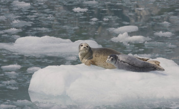 "A harbor seal pup and its mother rest on ice at the base of Northwestern Glacier in Kenai Fjords National Park in June of 2011. More than 350 female seals with pups were spotted in the area. (Photo by Gregory ""Greg"" Smith/Creative Commons)"