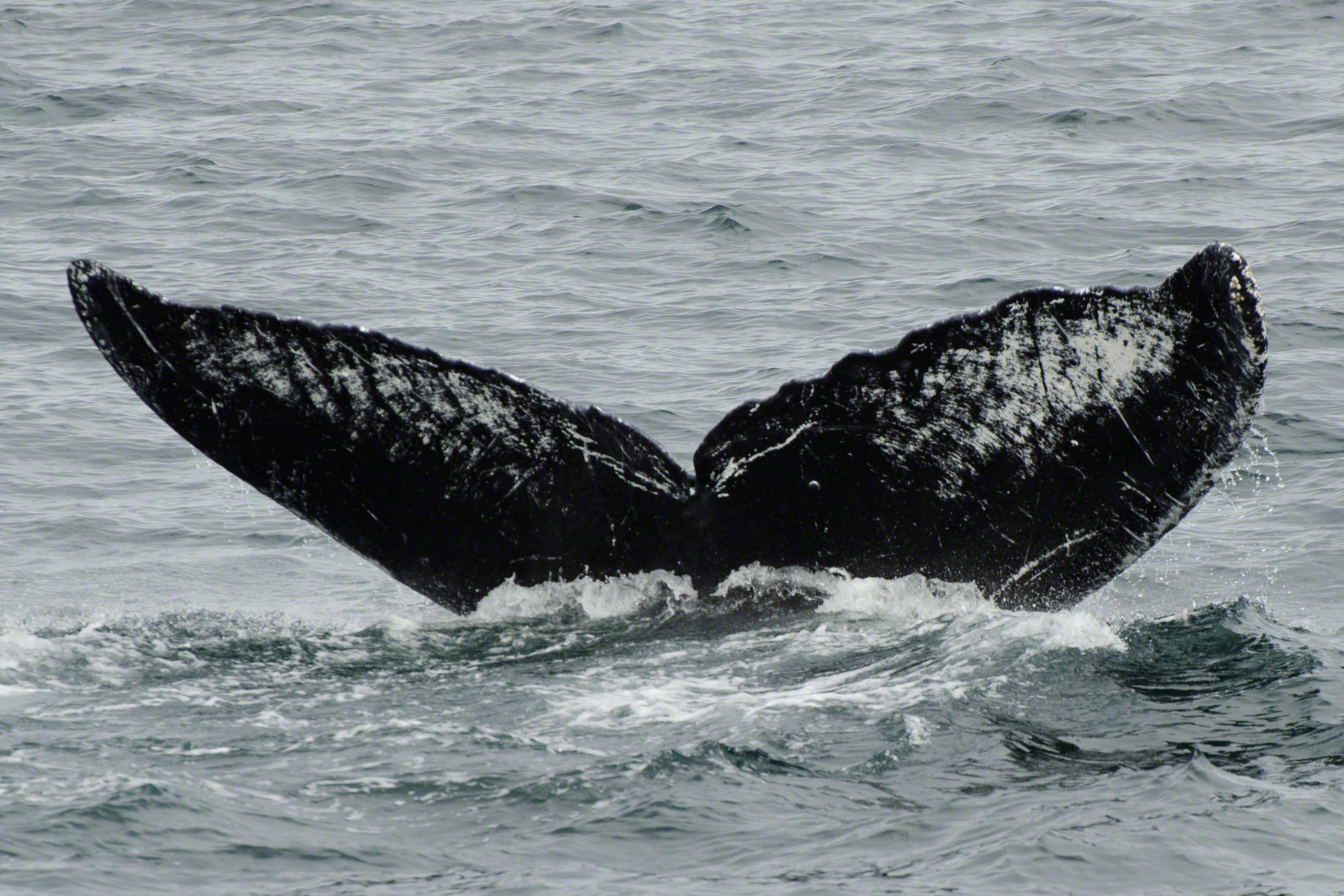 Old Timer's Flukes captured from the deck of the M/V Northern Song July 12th. (Jim Nahmens/Nature's Spirit Photography)