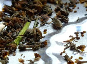 Primula Aricula
