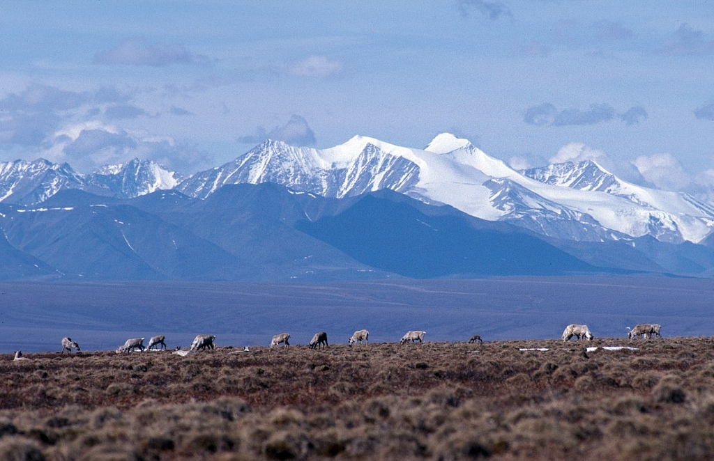 Caribou graze on the coastal plain of the Arctic National Wildlife Refuge, with the Brooks Range as a backdrop. (Creative Commons photo by USFWS)