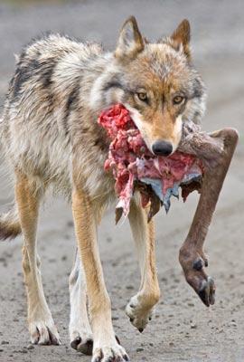 A wolf carrying a caribou leg. (Public Domain photo)