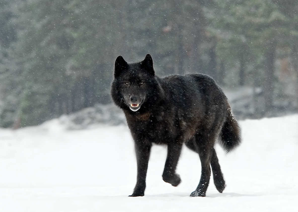 Romeo the wolf. (Photo courtesy Nick Jans)