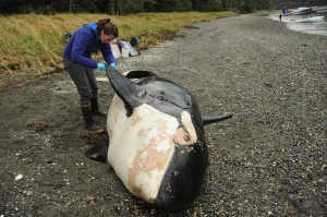 NOAA Fisheries marine mammal expert Sadie Wright examines the carcass of a killer whale discovered near Petersburg, Alaska. (Photo courtesy of NOAA Fisheries)