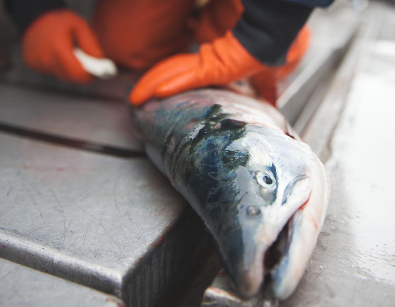 Bristol Bay salmon horizontal