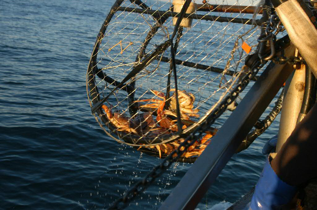 A crab pot is pulled out of the water. (Creative Commons photo by Dave Parker)