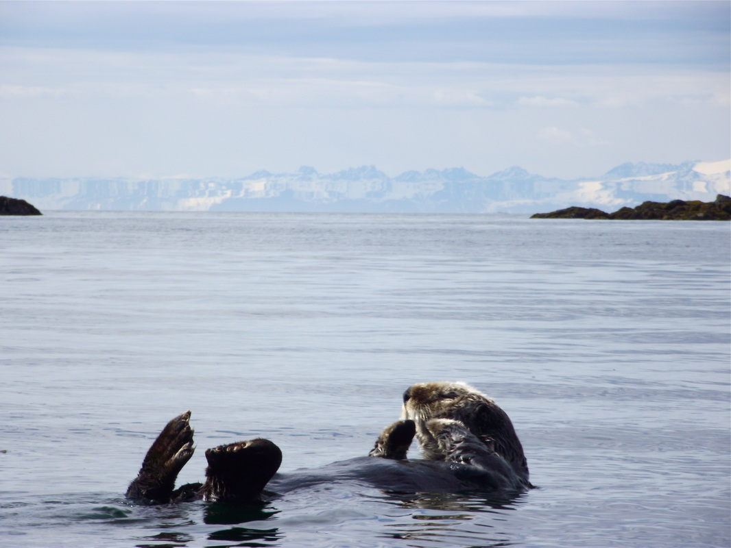 A sea otter floats on its back. (Photo by Theresa Soley/KTOO)