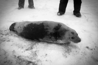 The bearded seal was released back into the wild at Nome's west beach. (Photo by Gay Sheffield/University of Alaska Fairbanks Alaska Sea Grant)