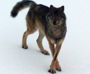 An Alexander Archipelago wolf. (Photo courtesy of the Alaska Department of Fish and Game)