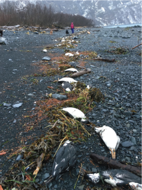 The bodies of common murres litter the beaches of Prince William Sound and many other areas around Alaska. Some of the seabirds have been found some 350 miles inland, around Fairbanks. (Photo by David Irons)