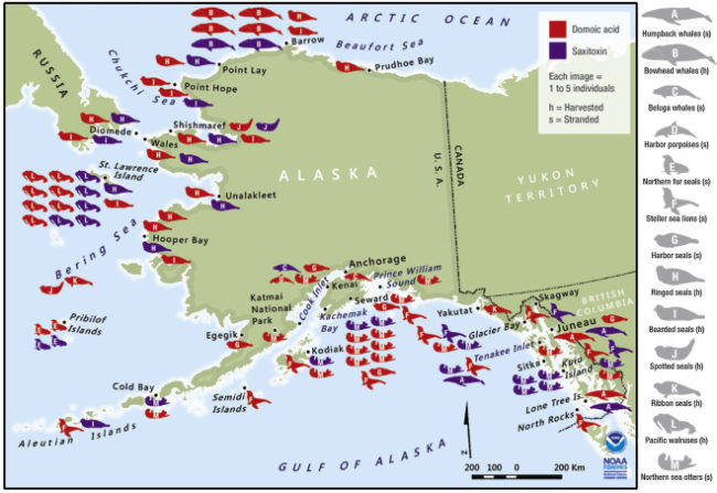 Whales, otters and other marine mammals were found with two algae-carrying toxins along most of the Alaska coastline. (Map courtesy Northwest Fisheries Science Center)