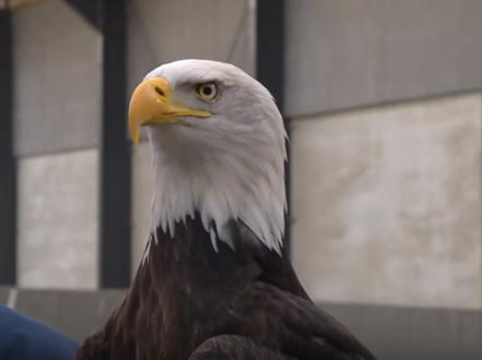 One of the bald eagles being trained by Dutch police to snatch drones from the sky. (Screen Shot via NPR)