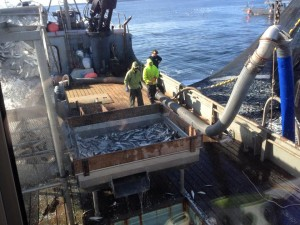 The Deco Bay loads up on herring during the second opening of the 2015 Sitka Sound sac roe herring fishery. (Photo courtesy of Angela Marie Christensen)