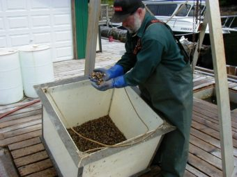 "Randy Porter checks young oysters, called ""spat,"" at the oyster nursery in Naukati in 2007. (Photo by Ed Schoenfeld/CoastAlaska News)"