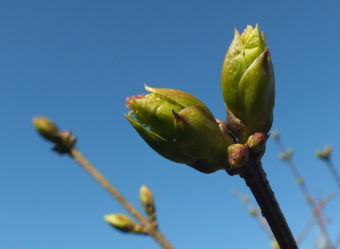 Japanese lilac buds