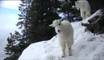 State biologists are tracking Haines-area mountain goats to understand their habitat and range better. (Photo courtesy of Alaska Department of Fish and Game)