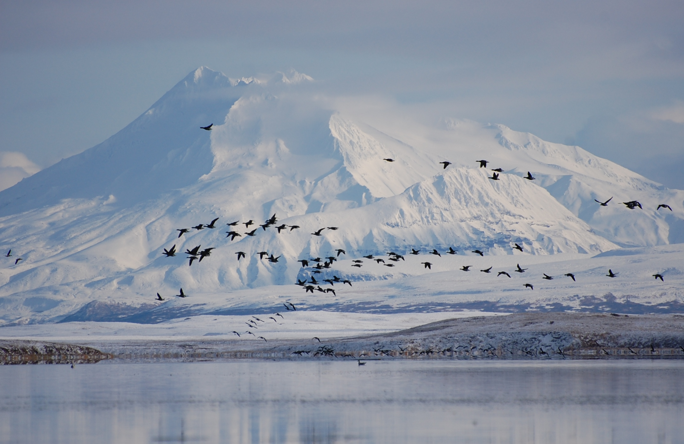 Brant geese in front of Mount Dutton and Izembek Lagoon in the Izembek National Wildlife Refuge