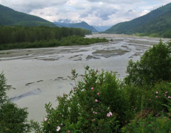 Wild Roses on the Chilkat River