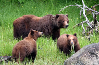 Warm weather means bears will be more active this spring than usual. (Photo courtesy of Alaska Department of Fish and Game)