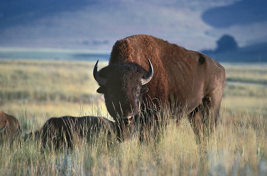 A North American bison in Glacier National Park, Montana. DEA / G. SIOEN/De Agostini/Getty Images