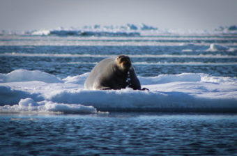 A bearded seal, or ugruk, on the sea ice.