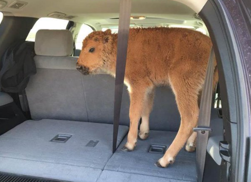 Baby Bison That Was Placed In A Van By Tourists In Yellowstone Is Euthanized