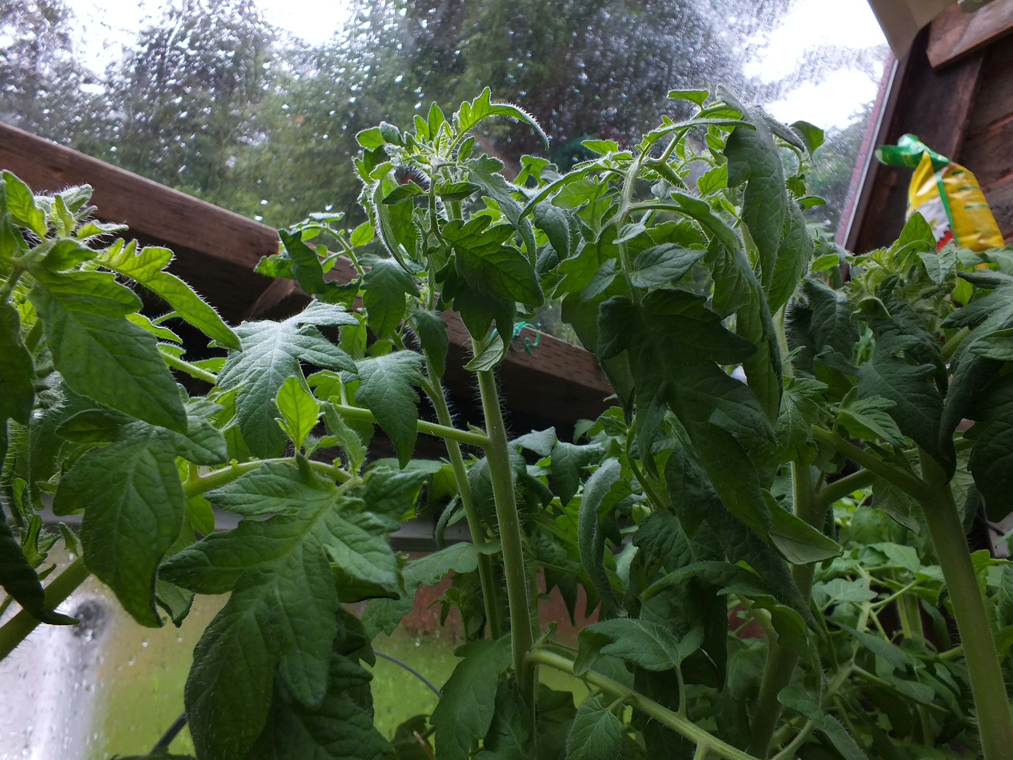 These tomato plants desperately need thinning.
