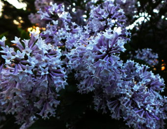Even without the Smellovision photo app, you can detect the pleasant fragrance of this Japanese lilac through your screen.