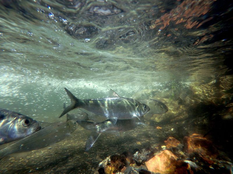 Herring swim up the Wynants Kill two weeks after an old industrial dam was removed to allow ocean-going fish access to the Hudson River tributary for spawning and habitat in Troy, N.Y. (Photo by Erica Capuana/AP)