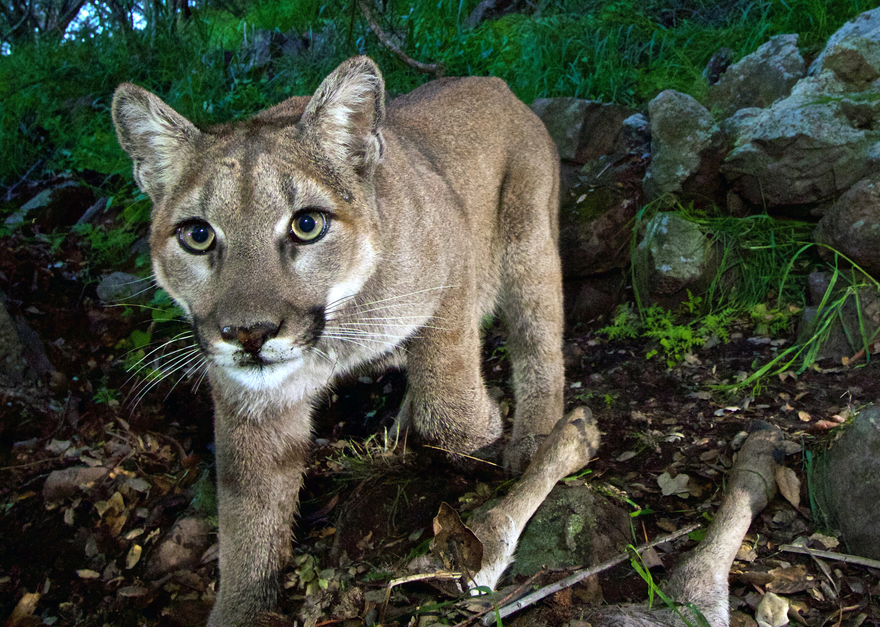 The Colorado boy was attacked by a mountain lion (though not this particular animal, photographed by the National Park Service in California's Santa Monica Mountains National Recreation Area). HOPD/AP