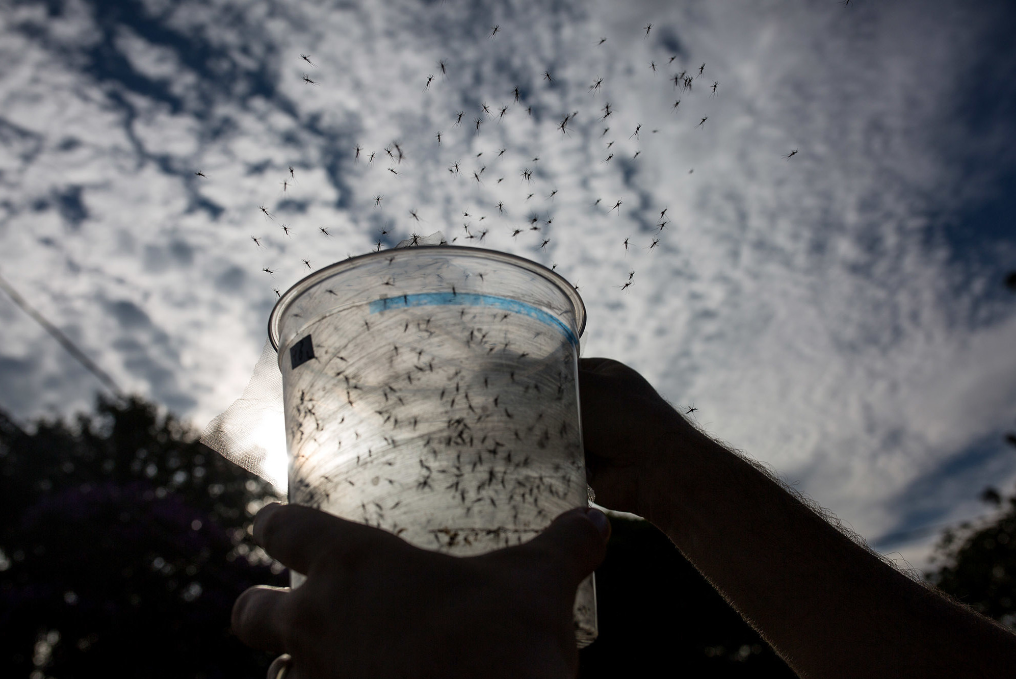 Genetically modified mosquitoes are released in Piracicaba, Brazil, in an effort to combat Zika virus. These mosquitoes were modified using conventional techniques. Victor Moriyama/Getty Images