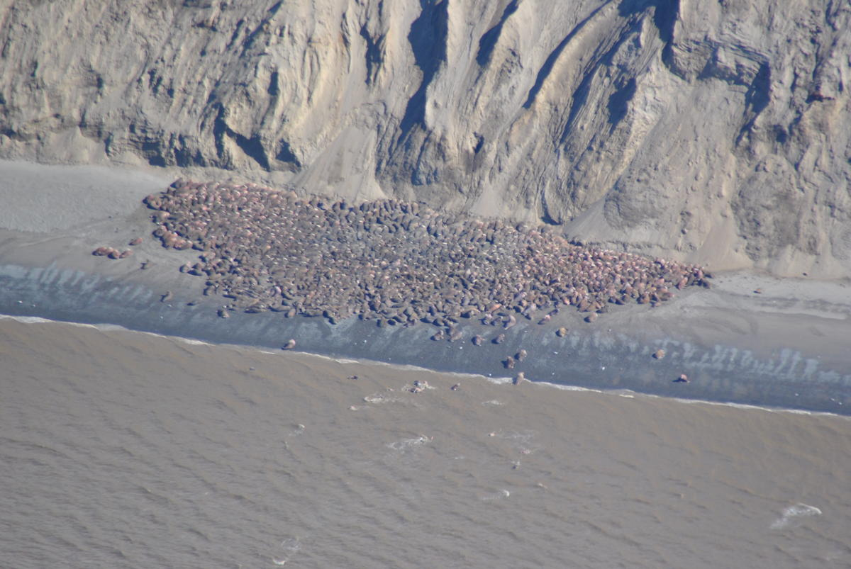 Photo taken by US Fish and Wildlife Service of walrus hauled out at Cape Grieg, just north of the Ugashik fishing district line, earlier this spring.