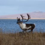 Male caribou running near Kiwalik, Alaska. (Photo by Jim Dau/ADF&G)