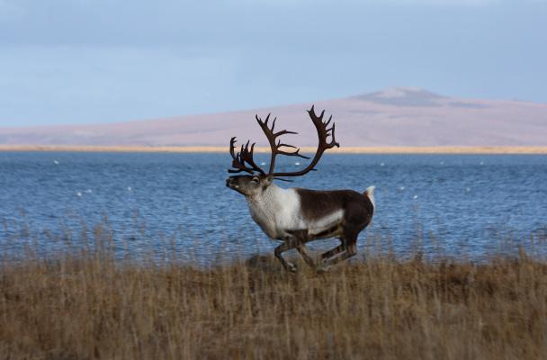 A male caribou runs near Kiwalik, Alaska. Photo: Jim Dau.