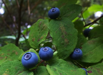These blueberries are almost ripe.