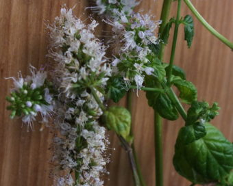 This bolting and flowering mint in an indoor herb garden needs to go.