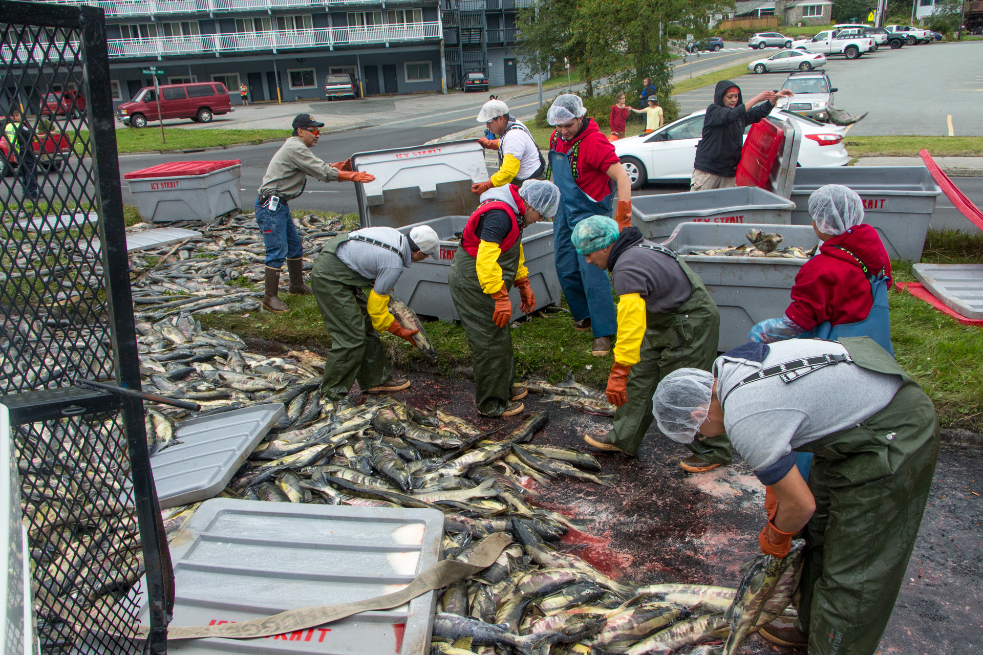 Crews load salmon back into fish totes after a tuck rollover on Egan Drive on July 25th, 2016. (Photo by Mikko Wilson / KTOO)