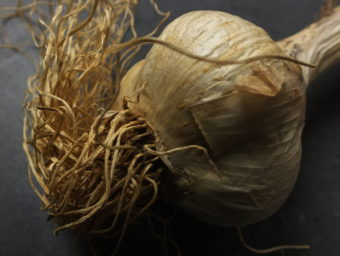 This garlic was harvested last year and cured over the winter with the roots and stem still intact.