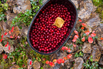 low-bush cranberries berry picking