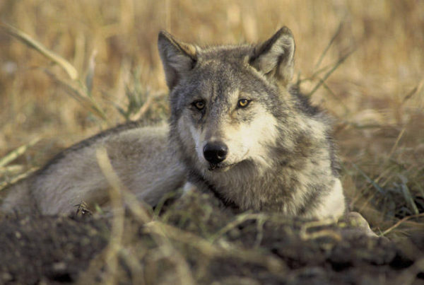 In the wake of finding 12 dead cows killed by wolves, Washington Fish and Wildlife offiicals plan to kill an entire wolf pack inthe northeast corner of the state (File photo U.S. Fish and Wildlife Service)