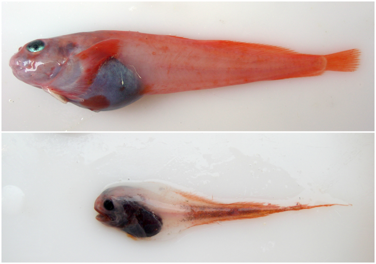 Snailfish can be hard to distinguish. The Combed snailfish (above) is found in the Aleutian Islands and the Comet snailfish (below) lives in the Bering Sea. (Courtesy Jay Orr/NOAA)
