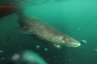 The long lifespan of the Greenland shark, shown here in the cold, deep waters of the Uummannaq Fjord, may only be surpassed by that of the ocean quahog, a clam known to live as long as 507 years.