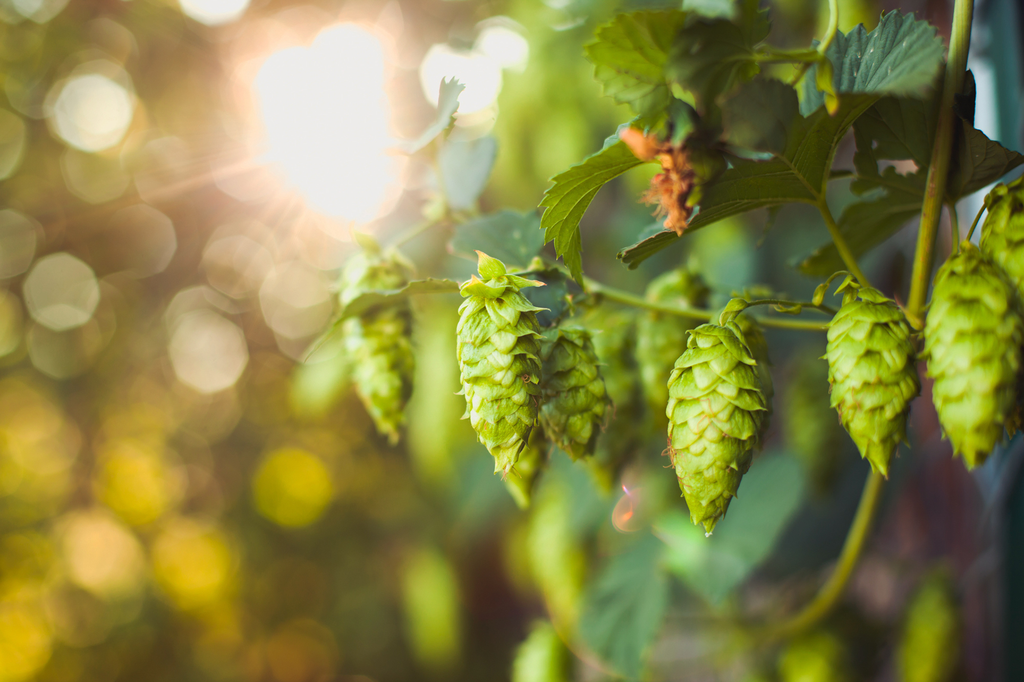 The spike in demand for small-batch beers has infused new life into small, family owned hop farms that were teetering on the edge of bankruptcy. Tim Newman/Getty Images
