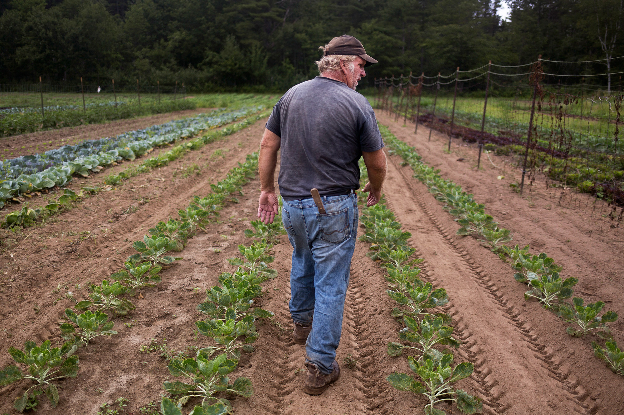 Bruce Hincks of Meadowood Farm walks through his patch of brussels sprouts in Yarmouth, Maine. Hincks, who has been farming for 40 years, said that this is the worst season, in terms of drought and heat, that he has seen in 10 or 12 years. (Photo by Brianna Soukup/Portland Press Herald via Getty Images)