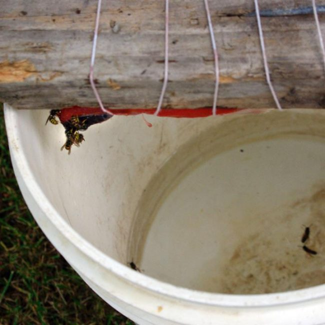 A homemade wasp trap at Harry and Erin Lockwood's house. Fill the bottom of a five-gallon bucket with water and a little cooking oil or dish soap. Wrap some meat around a stick placed on top of the bucket. If the wasps fall in the water, they can't get back out. (Photo by Jenny Neyman/KBBI)