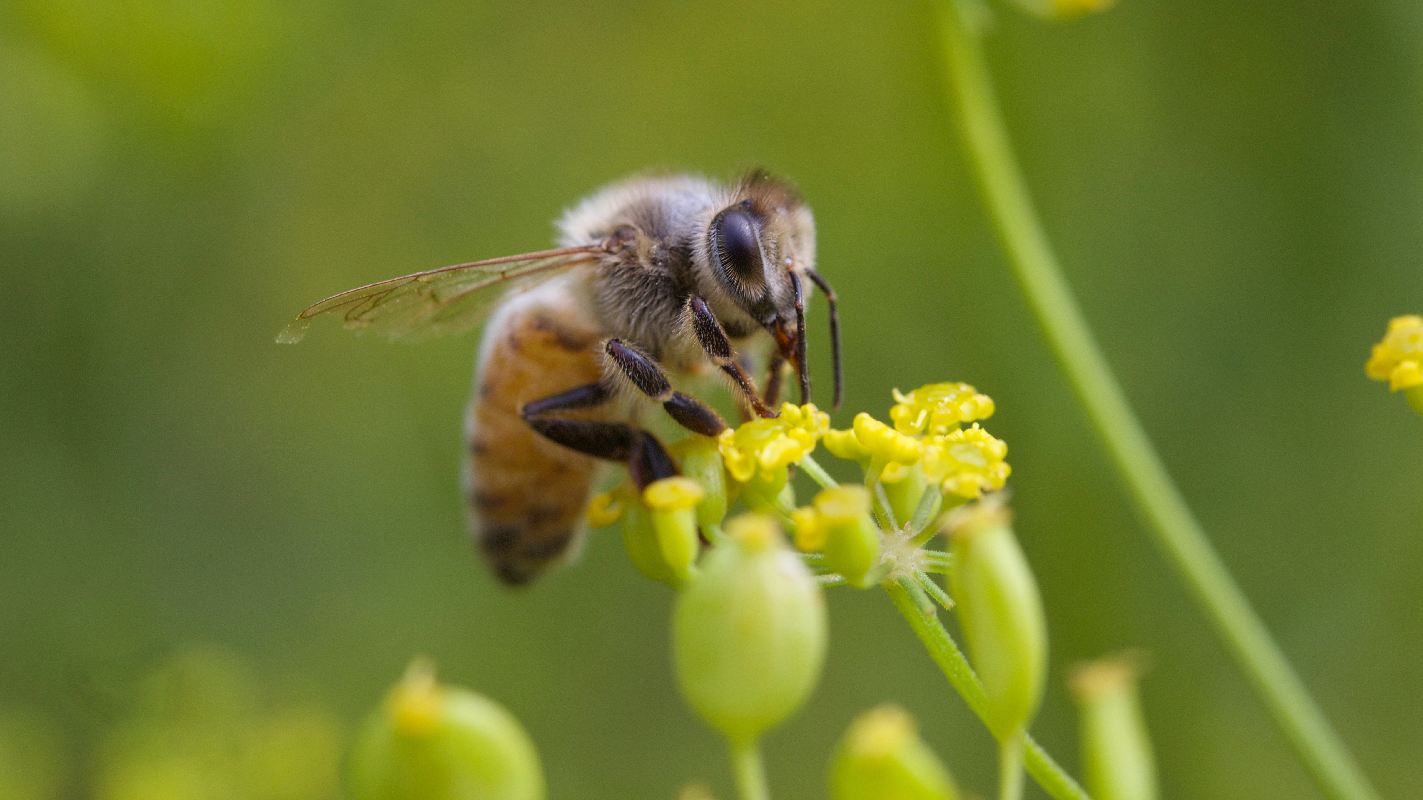 Honeybees are vulnerable to the kind of pesticide sprayed in Dorchester County, but hives — at least those maintained by beekeepers — could have been protected, by the timing of the spraying or by physical barriers. They weren't, and millions of bees died. (Photo by Keith McDuffee/Flickr)