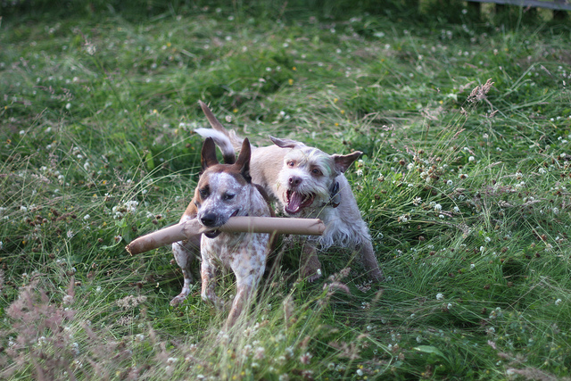 Dogs playing. (Creative Commons photo by Sean Dustman)