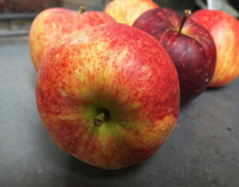 These little Juneau-grown apples of the Discovery variety are ready for applesauce, apple butter, or maybe apple pie.